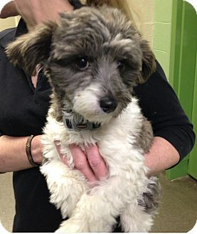 Nashville Tn Havanese Poodle Miniature Mix Meet Margaret A