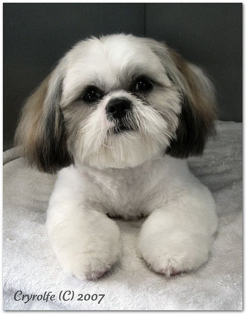 Love This Cut Cant Live Without Shih Tzu Shih Tzu Puppy
