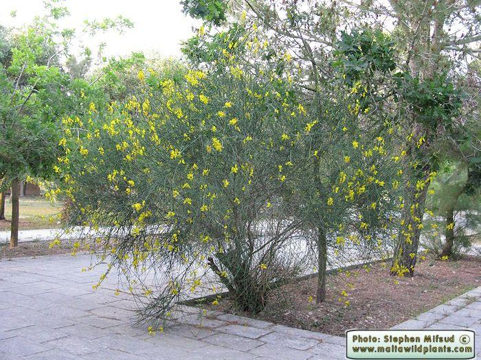 Wild Plants Of Malta Gozo Plant Spartium Junceum Spanish Broom Spanish Broom Wild Plants Plants