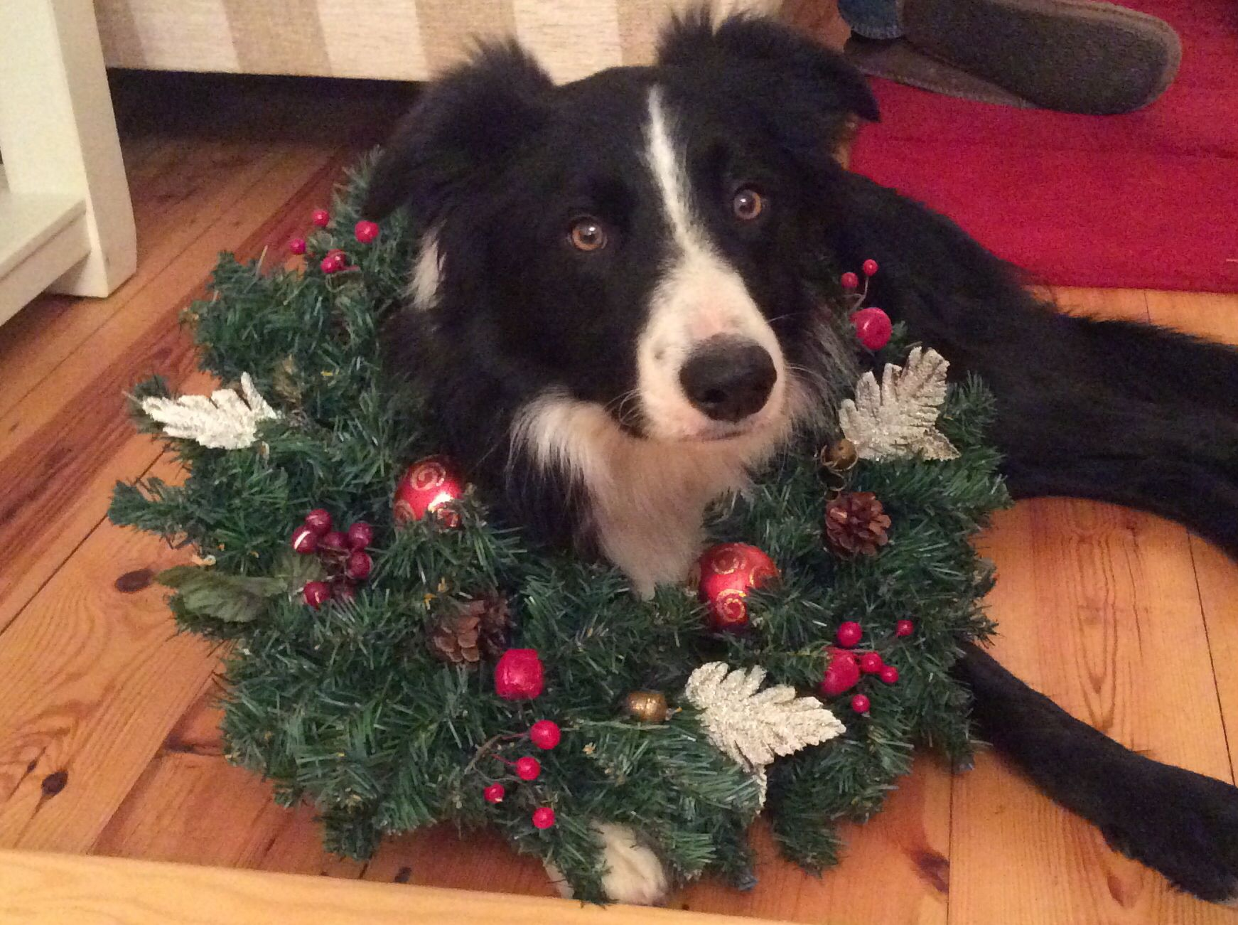 Ready For Christmas Collie Dog Collie Dog Art