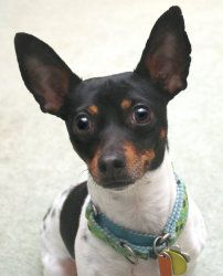 Arni Ga Is An Adoptable Rat Terrier Dog In Athens Ga Arni Is A Unique Little Teddy Roosevelt Terrier Also K Rat Terrier Dogs Rat Terriers Toy Fox Terriers