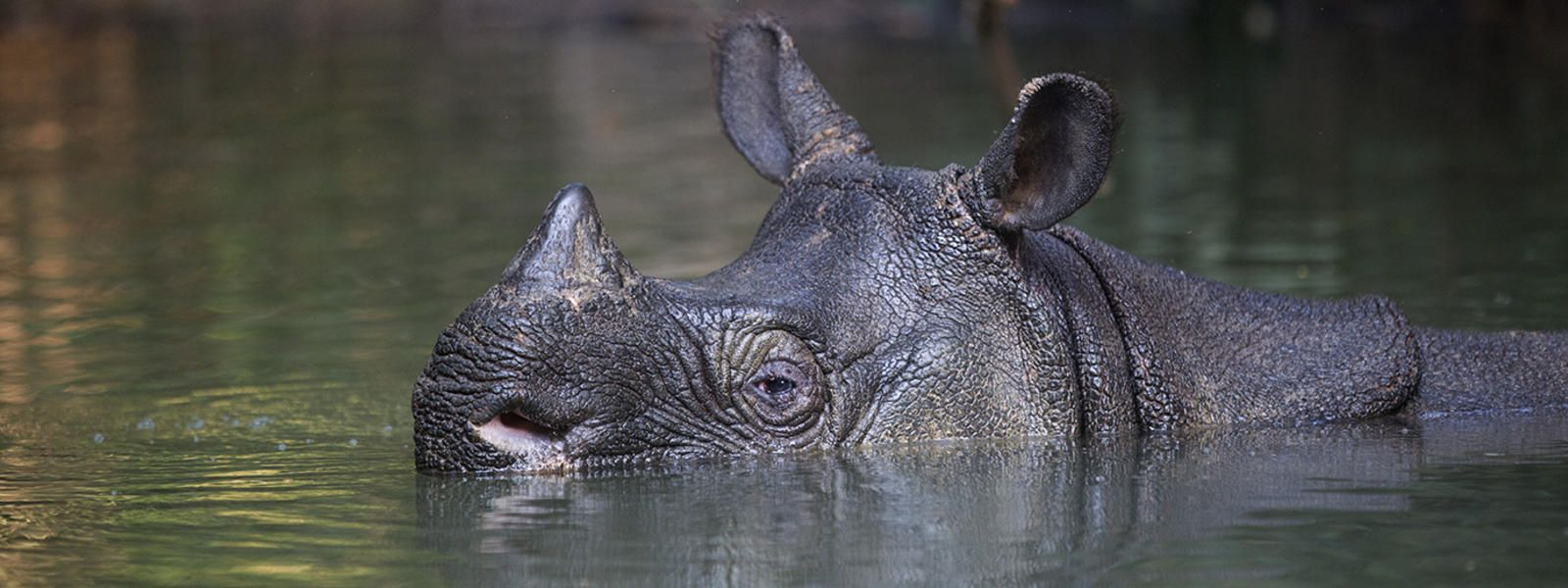 javan rhino facts range habitat diet population pictures - 1600×600