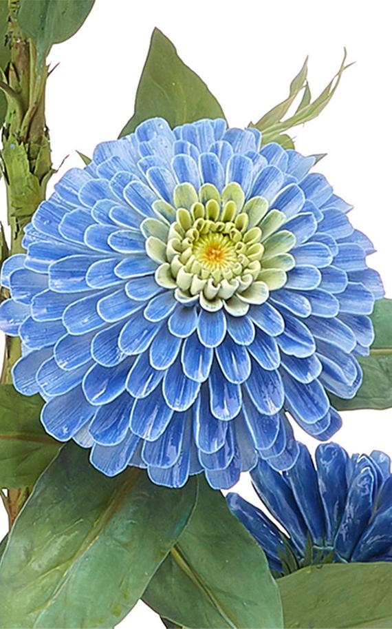 Zinnia haageana Blue Flower 50 seeds #blueflowerwallpaper Zinnia haageana Blue Flower 50 seeds #blueflowerwallpaper