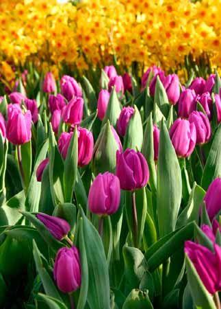 Resultados De La Busqueda De Imagenes De Google De Http Static Ddmcdn Com Gif Define Perennial Bulbs 1 Jpg Tulipanes Google Imagenes