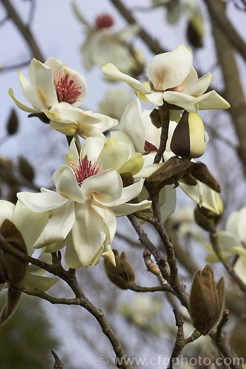 Magnolia Campbellii Var Alba A Naturally Occurring White To Cream Flowered Variety Of An Early Flowering Tree Australian Flowers Beautiful Flowers Magnolia