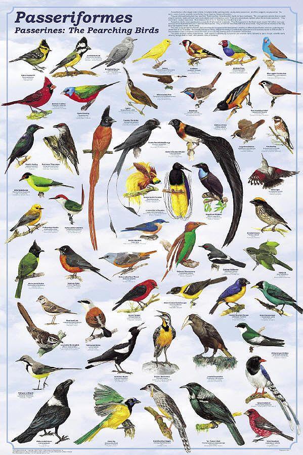 Разнообразие-воробьиных.jpg (599×899)