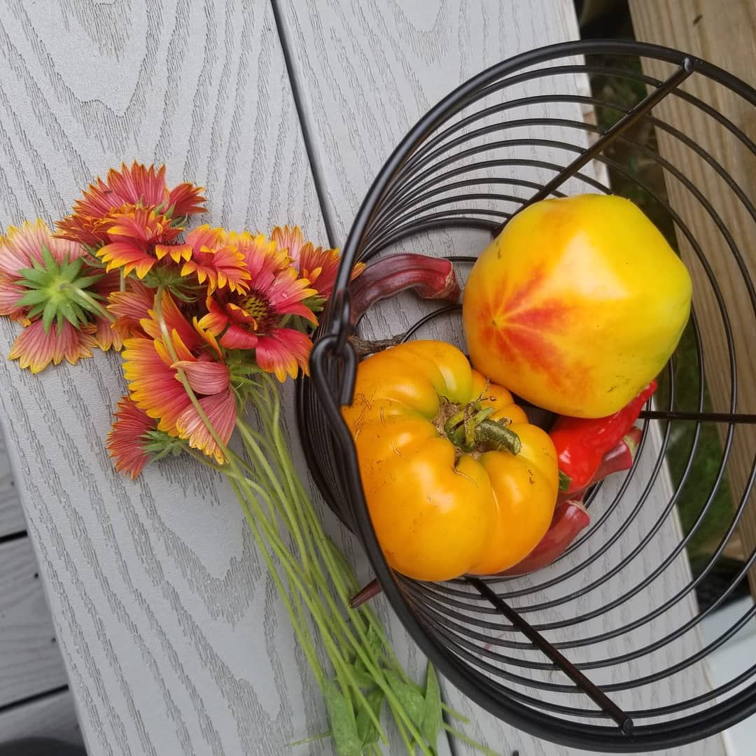 Gold medal and yellow brandywine tomatoes and one of my favorite perennials gaillardia blanket flower.