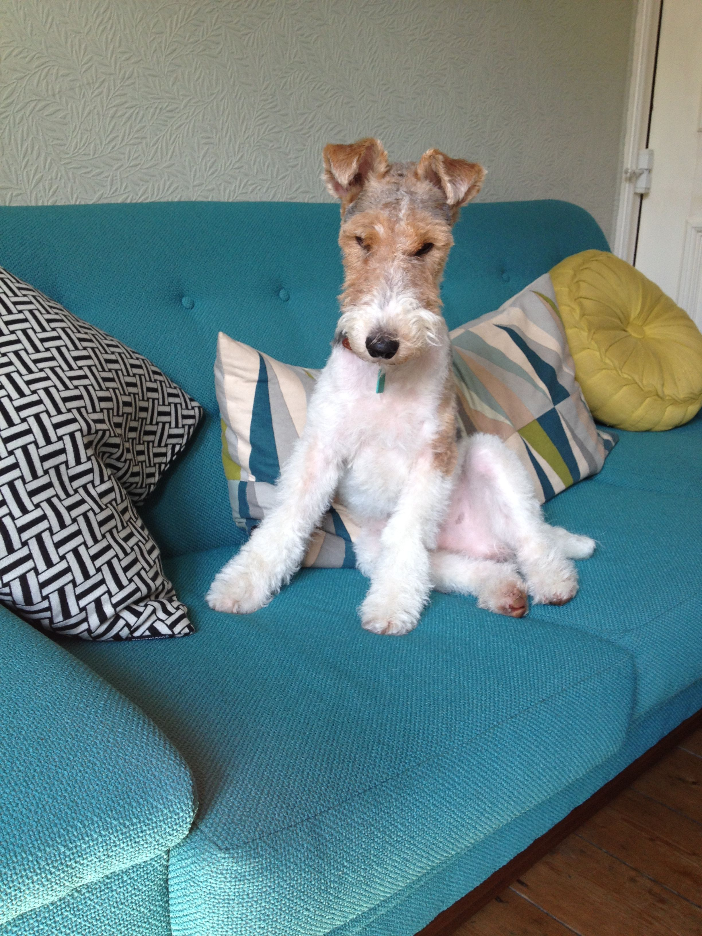 Dougal the wire fox terrier Handsome, attentive buddy! | Wire Fox ...