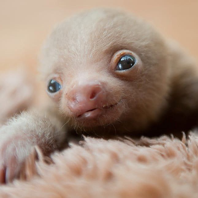 wittle baby sloth!