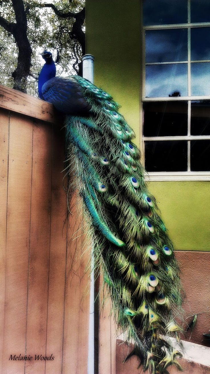 Pin by hugamlin mn on sectioned birds peacocks pinterest february peacocks some say they are symbolic of gloryroyalty vision biocorpaavc Gallery