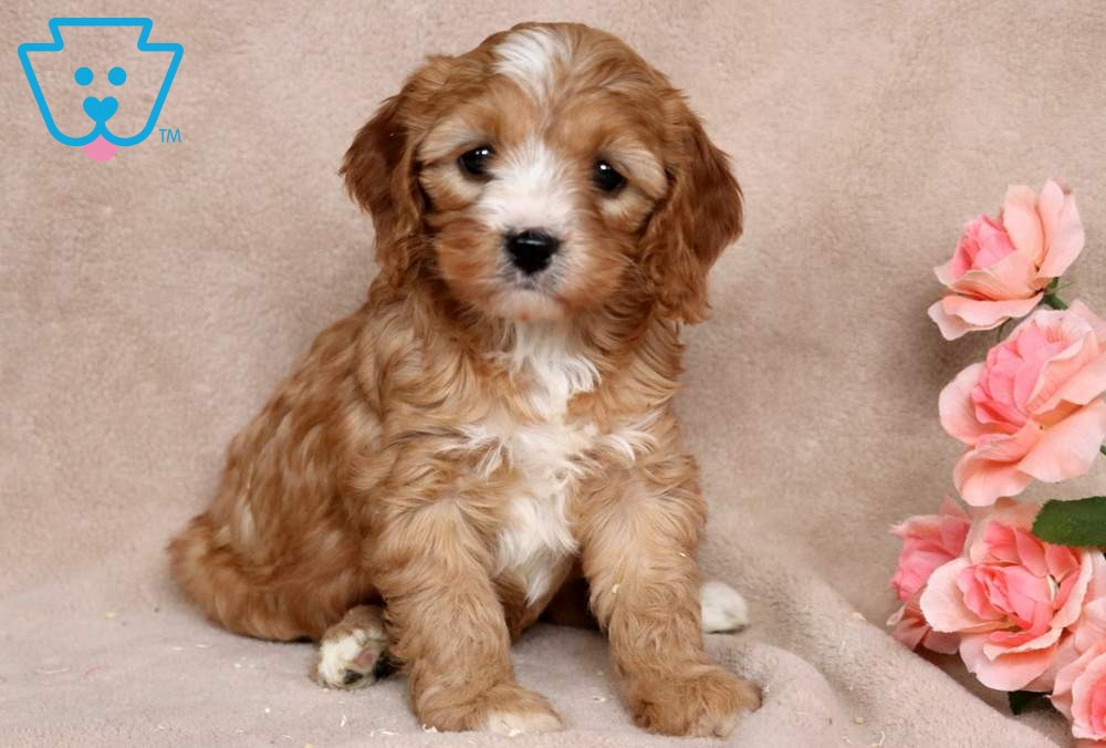 Foxy Cavapoo Puppy For Sale Keystone Puppies In 2020 Cavapoo Puppies Cavapoo Puppies For Sale Cavapoo