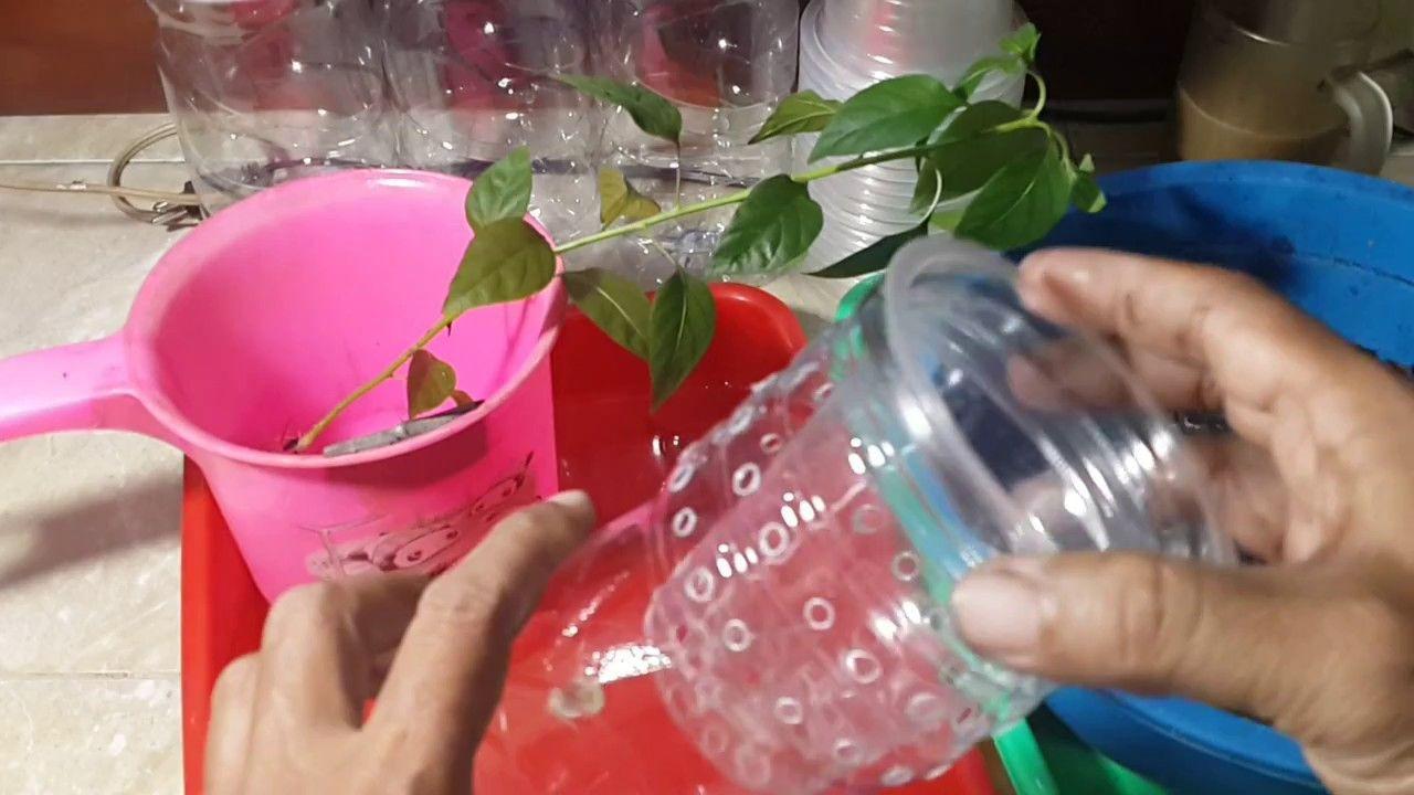 Membuat Hidroponik Kratky Sistem Tanpa Sirkulasi Dari Botol