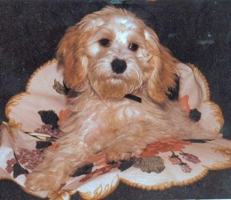 Dilly Such A Good Puppy Cockapoo Best Puppies Fur Kids Puppies