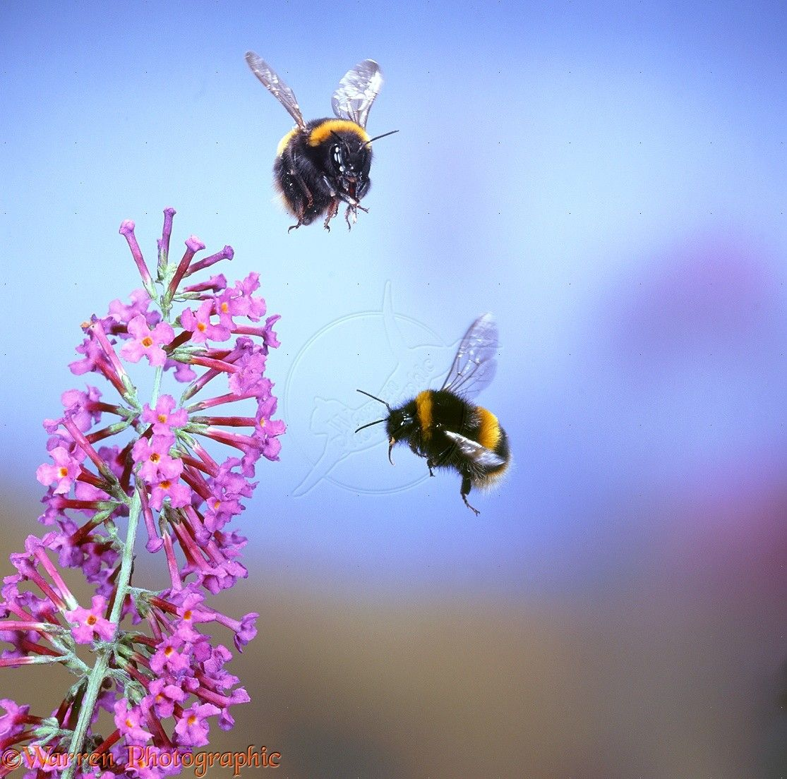10301 common white tailed bumblebees in flight jpg 1 115 1 104