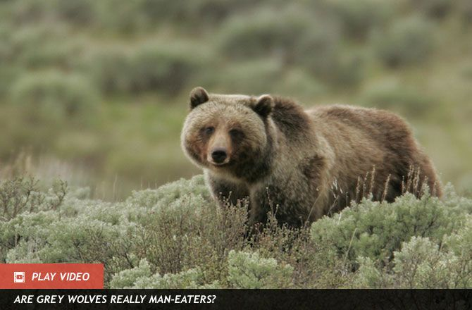 Wolves Help Grizzly Bears Get Berries : Discovery News