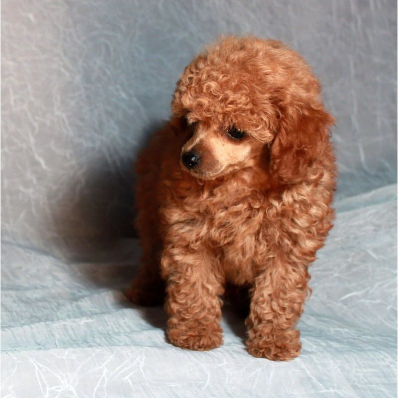 Teddy Bear Puppies For Sale Puppies For Sale Teddy Bear Tiny