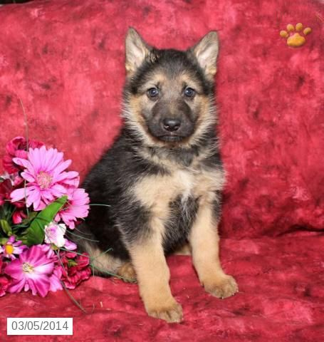 Samson German Shepherd Puppy For Sale In Indiana Pa German