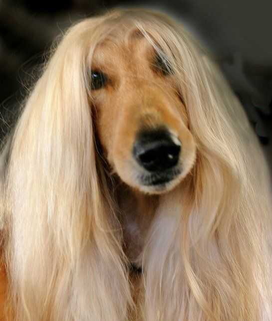 Cute Pet Dogs Wallpapers Afghan Hound Afghan Hounds Might Not Be The Smartest Dog