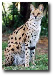 Savannahs Are A New Breed A Hybrid Cross Of African Serval Domestic Cat Wild Cats Serval Cats Savannah Cat