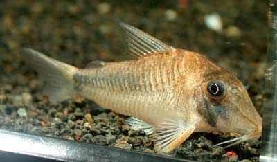 Corydoras cf. solox