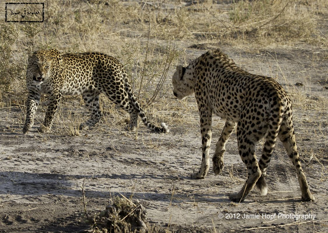 على اليمين الفهد الصياد Cheetah هو أسرع الثديات على الأرض يعيش في سهول افريقيا ويحتاج مساحات واسعة للعدو والاصطياد يحوي جلده Cheetahs Wild Cats Cheetah