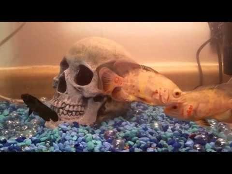 Oscar Fish!!! - YouTube