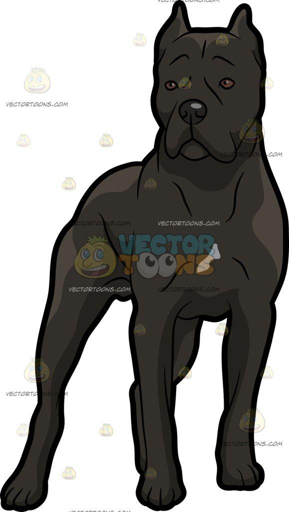 An Intrigued Cane Corso Dog Cane Corso Dog Cane Corso Corso Dog