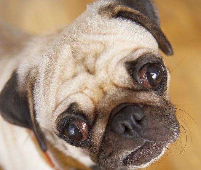 Pug Dog Health Tips Pink Eyes Pugs