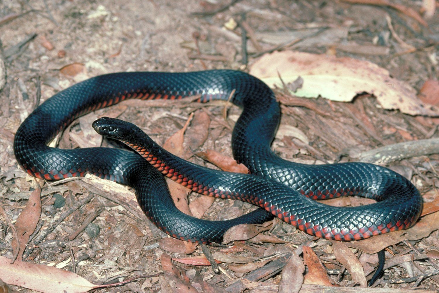 Top Most Dangerous BLACK MAMBA Snake Wallpapers In HD