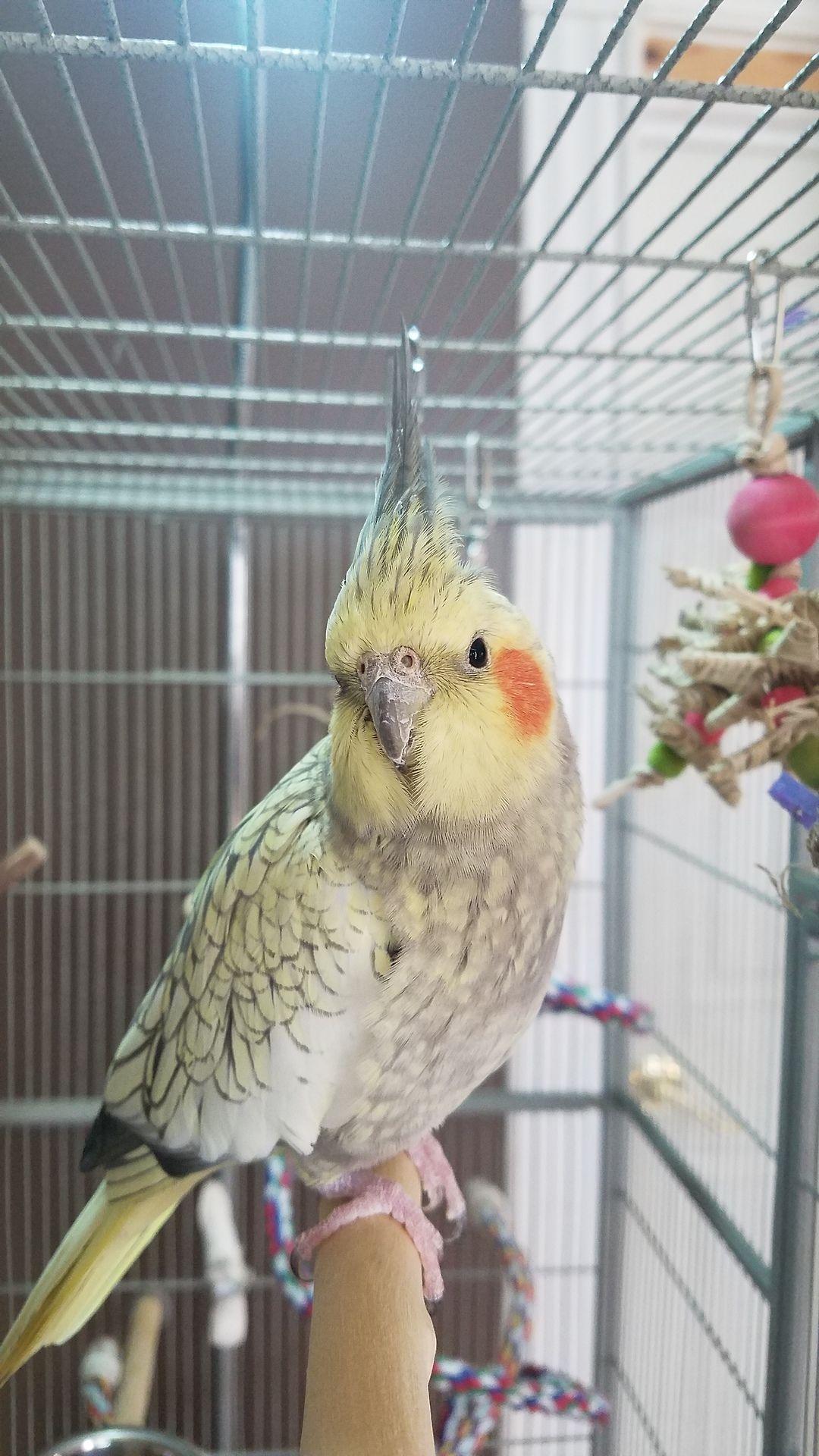 Millet Junkie Pet Birds Budgies Bird Cockatiel