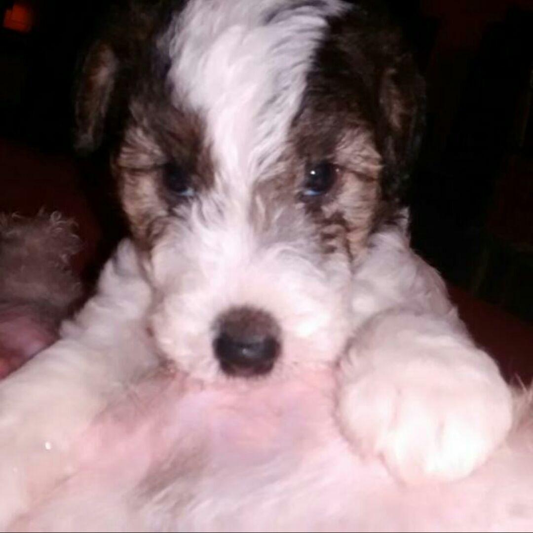Baby Figo. Wire fox terrier