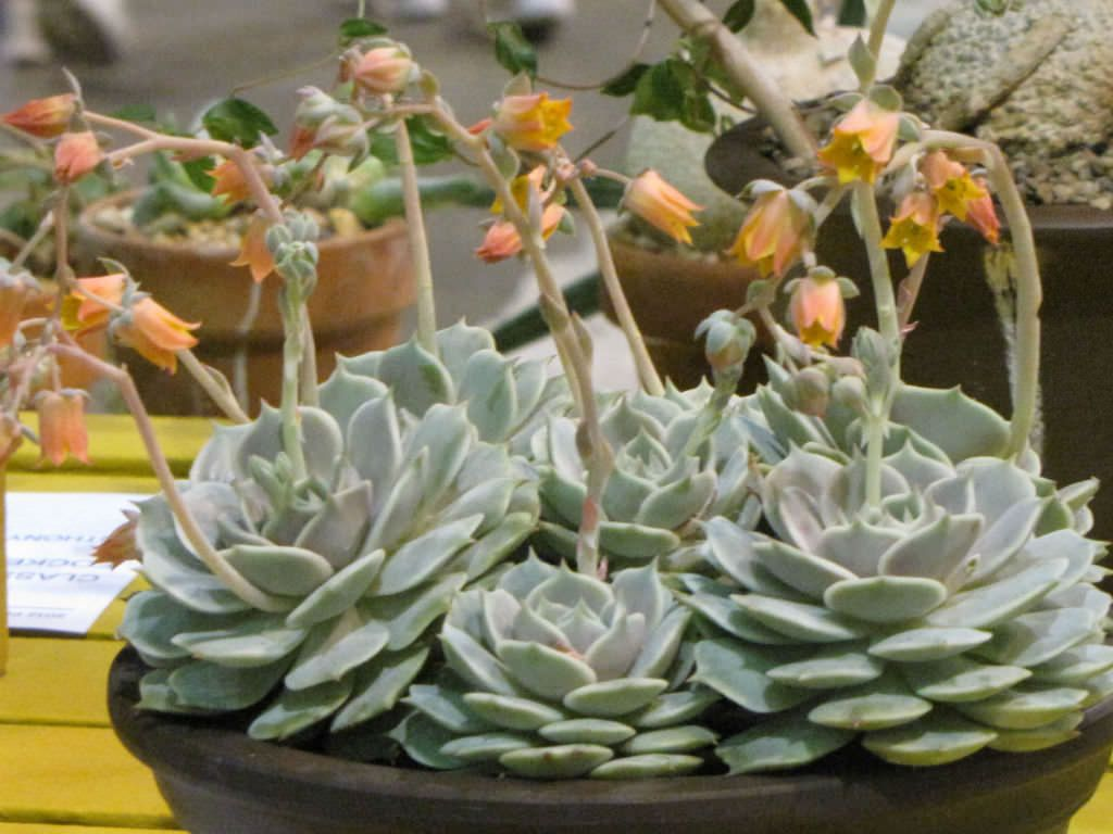 Echeveria 'Lola' is a beautiful succulent plant, up to 6 inches (15 cm) tall. It forms a sculpted rosette up to 6 inches (15 cm) in...