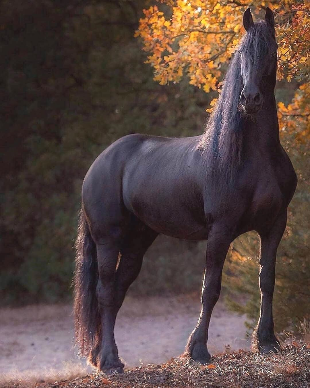 Animals On Instagram Black Beauty The Wild Mustang Free From The Constraints Of A Saddle And Spur Beautiful Horses Stallion Horses Big Horses