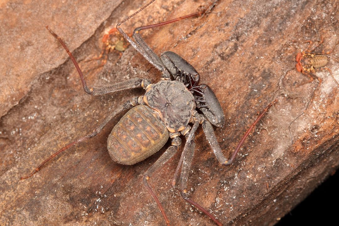 Florida tailless whip scorpion