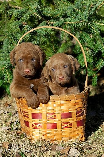 Two Chesapeake Bay Retriever Puppies Sitting In Basket