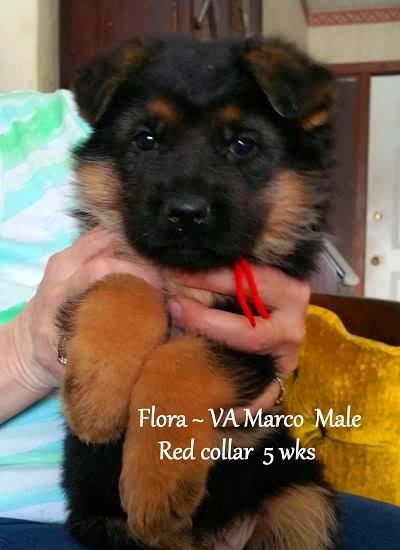 German Shepherd Dogs To Produce Puppies For Sale That Are Good For