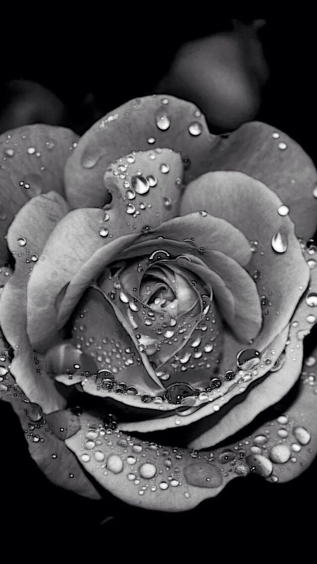 grey.quenalbertini Grayscale Dew Rose Flower Macro iPhone