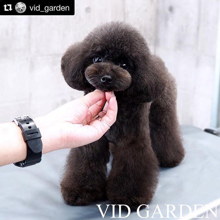 ドッグサロンv I D 表参道 本店さんはinstagramを利用しています Repost Vid Garden With プードルカット トイ プードル カット プードルのグルーミング