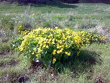 Bekkeblom – Sumpskogplante