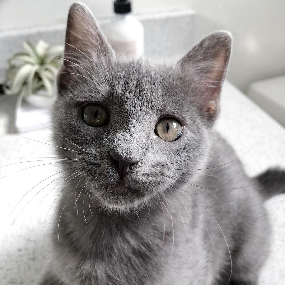 Reddit This Is Pepper With Images Russian Blue Cat Cats And Kittens Blue Cats