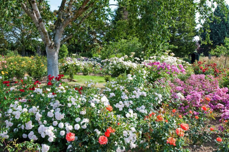Royal National Rose Society Gardens, Chiswell Green, Hertfordshire, East Of  England