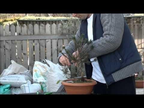Mugo Çamı Bonsai -1 - YouTube