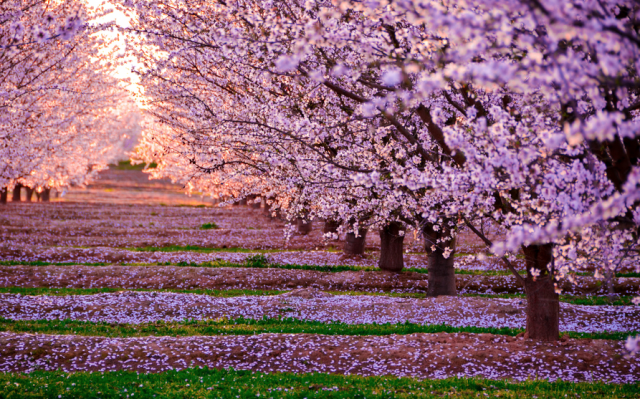 Most Beautiful Cherry Blossoms Around The World Picture Tree Blossom Trees Cherry Blossom Tree