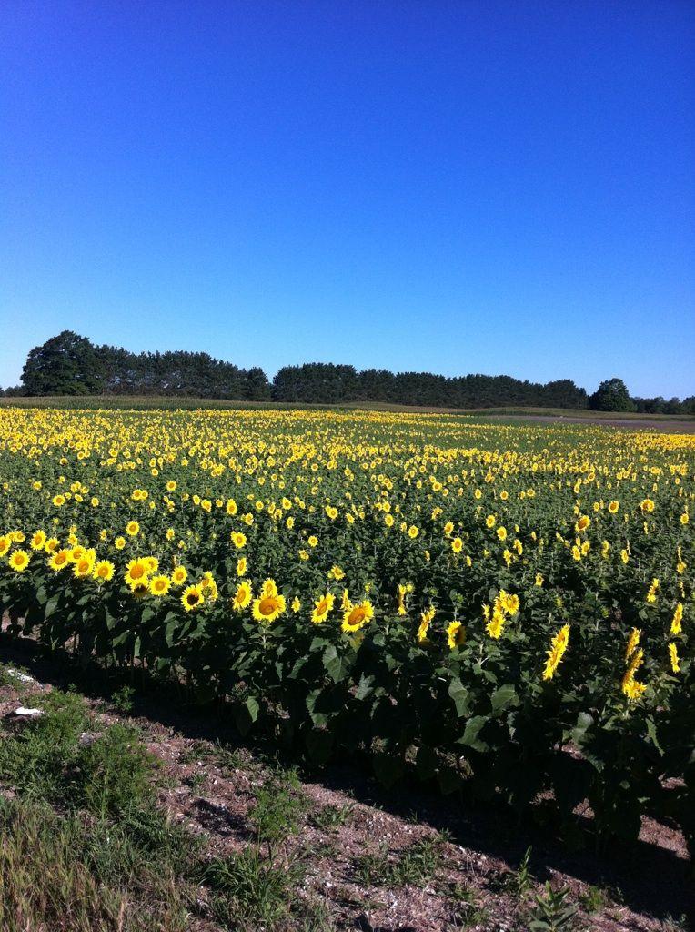 Sunflower field near Kingsley, MI. My favorite flower
