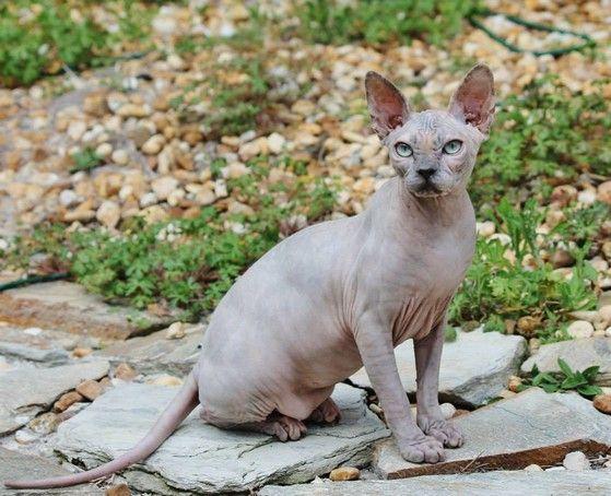 Sphynx Kittens For Sale Nada Sphynx Devon Rex Lykoi Cats Sphynx Sphinx Esfinge Sphynx Cats For Sale Hairless C Sphynx Cat Cats And Kittens Hairless Cat