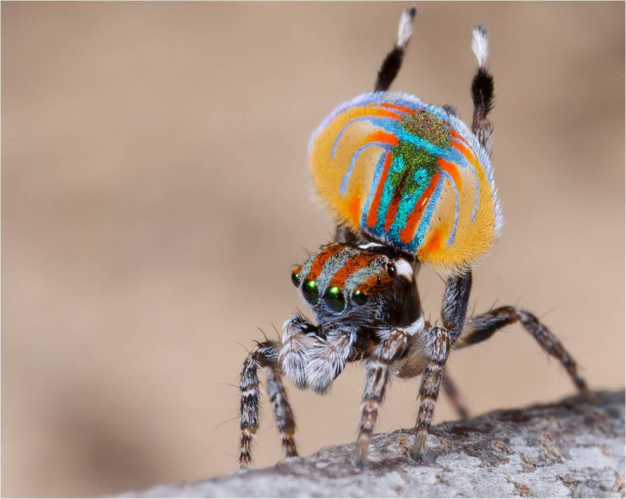New Species Of Aussie Spider Is Named Sparklemuffin Dont You Agree Macrophotograph Printed Circuit Board Round O By Sciencephotos This One That No Could Be Threatened He Looks Like On His Way