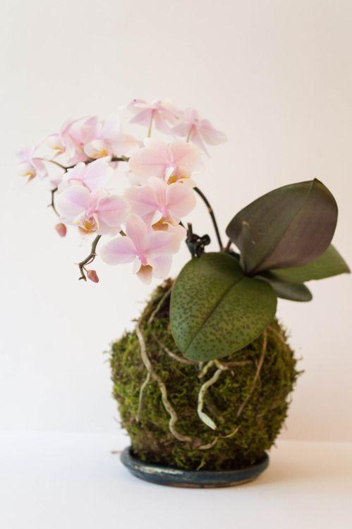 Kokedama Orchid