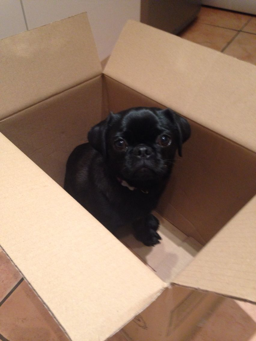 Pug in a box! Ready for immediate despatch!