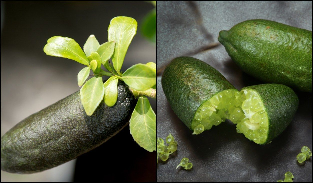 How To Grow Finger Lime Trees In Pots No Matter Where You Live Potted Trees Lime Tree Finger Lime