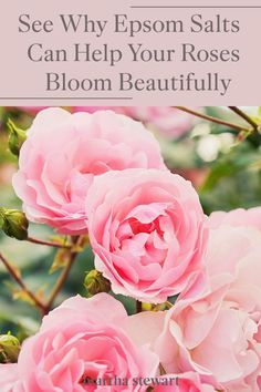 Learn why Martha adds Epsom salt to her roses and why the science behind this gardening hack is extremely useful for beautiful roses. Click here to read the full article and for other gardening tips. #gardening #gardenideas #garden #flowergarden #growingflowers #marthastewart
